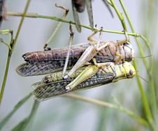 Free Locust 4 Royalty Free Stock Photography - 2500417