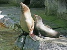 Free Sea-lion 1 Stock Image - 2500701