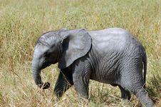 Free Baby Elephant Royalty Free Stock Images - 2500849