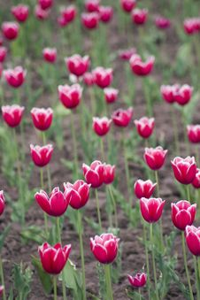 Free Tulips Stock Images - 2501264