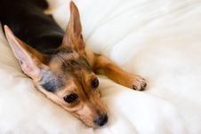 Free Toy Terrier Royalty Free Stock Image - 2501486
