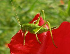 Free Grasshopper Royalty Free Stock Photo - 2501675