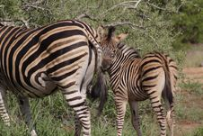 Free Plains Zebra And Foal Stock Photos - 2501733