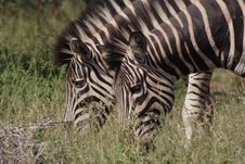 Free Plains Zebras Stock Image - 2501781