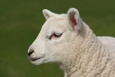 Free Profile  Of A Lamb Stock Image - 2502041
