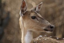 Free Chital Doe 2 Royalty Free Stock Photos - 2502288