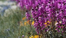 Free Wild Purple Flowers Royalty Free Stock Photos - 2503018