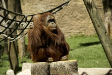 Free Fondness Orangutan Stock Images - 2503384