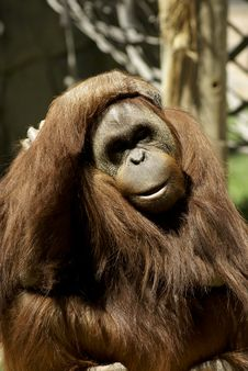 Free Fondness Orangutan Royalty Free Stock Photography - 2503447