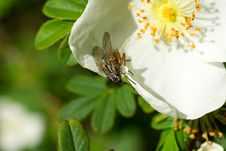 Free Fly Sitting On Edge Of Flower Royalty Free Stock Images - 2504089
