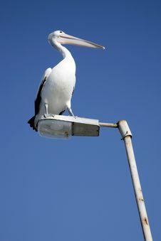 Pelican On Patrol Royalty Free Stock Photos