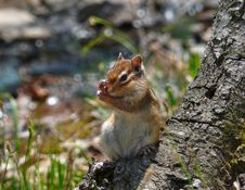 Free Siberian Chipmunk Stock Photos - 2505593