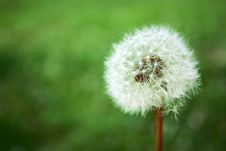 Free Dandelion Stock Images - 2506164