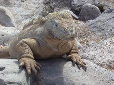 Free Iguana Stock Photography - 2507452