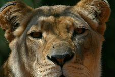 Free Lion Head Close Up Royalty Free Stock Photo - 2508945