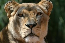 Free Big Lion Head Royalty Free Stock Photo - 2509015