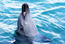 Dolphin Showing Tongue Stock Image