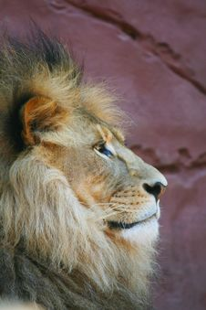 Free Proud Lion Royalty Free Stock Photography - 2509557