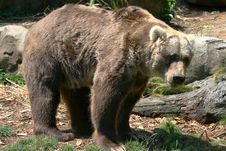 Free Male Brown Bear Standing Stock Images - 2509714