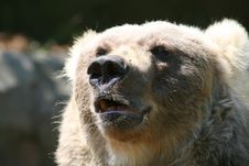 Free Big Bear Mouth Stock Photos - 2509783