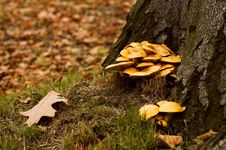 Free Mushrooms In The Forrest Royalty Free Stock Image - 2509896