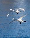 Free Pair Of Landing Swans Royalty Free Stock Image - 25000136