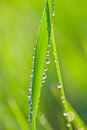 Free Drops Of Dew On A Grass Royalty Free Stock Photos - 25002718