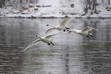 Free Trio Of Arriving Swans Stock Photos - 25000063
