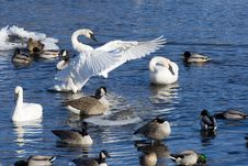 Free Resting Swans Royalty Free Stock Photography - 25000127