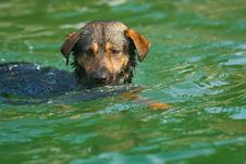 Free Dog Swimming Royalty Free Stock Image - 25000146