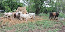 Cows Do Not Eat Straw. Stock Photos