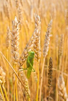 Free Grasshopper Sits On The Golden Ears Of Wheat Royalty Free Stock Photos - 25003118