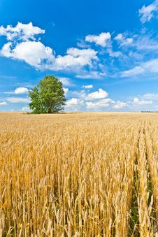 Free Alone Tree In Wheat Field Royalty Free Stock Photos - 25003158