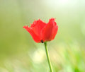 Free Beautiful Red Fringed Tulip Stock Photos - 25014223
