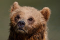 Free Bear Portrait Royalty Free Stock Photography - 25015617