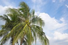 Free The Coconut Tree With Blue Sky Stock Photo - 25011390