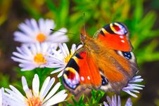 European Peacock Butterfly &x28;Aglais Io&x29; On Flower Stock Images