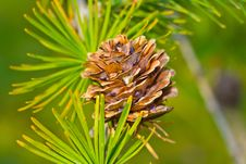 Cone And Needles On The Branch Close-up Stock Images