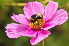 Free Bumblebee &x28;Bombus Terrestris&x29; Pollinating Flower Royalty Free Stock Image - 25012856