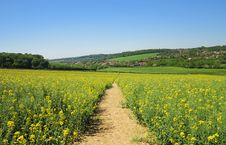 Track Through A Field Of Yellow Rapeseed Royalty Free Stock Photos