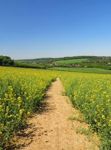 Track Through A Field Of Yellow Rapeseed Stock Images