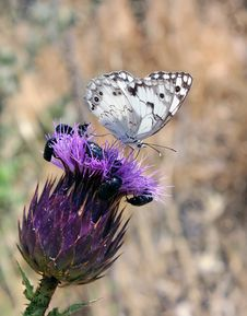 Free White Butterfly On Purple Flower Royalty Free Stock Photo - 25015435