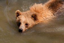 Bear Swimming Stock Photography