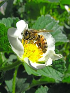 Bee On Flower Of The Strawberries Stock Images