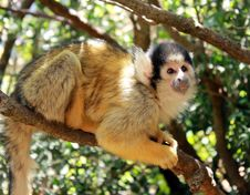 Free Cute Squirrel Monkey Royalty Free Stock Image - 25016776