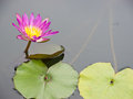 Free Red Water Lily Royalty Free Stock Photos - 25028978
