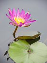 Free Red Water Lily Royalty Free Stock Images - 25029429