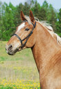 Free Portrait Of Palomino Cart Horse In Spring Field Stock Image - 25029461