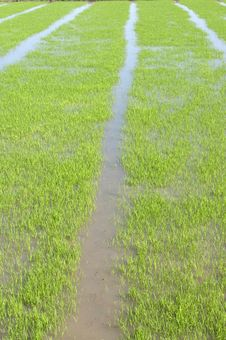 Free Ricefield Royalty Free Stock Photo - 25023385