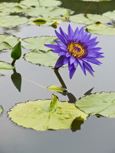 Free Purple-blue Water Lily Stock Image - 25025761